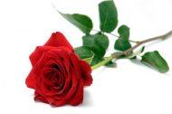 Роза Кения-микс 50 см. Акция